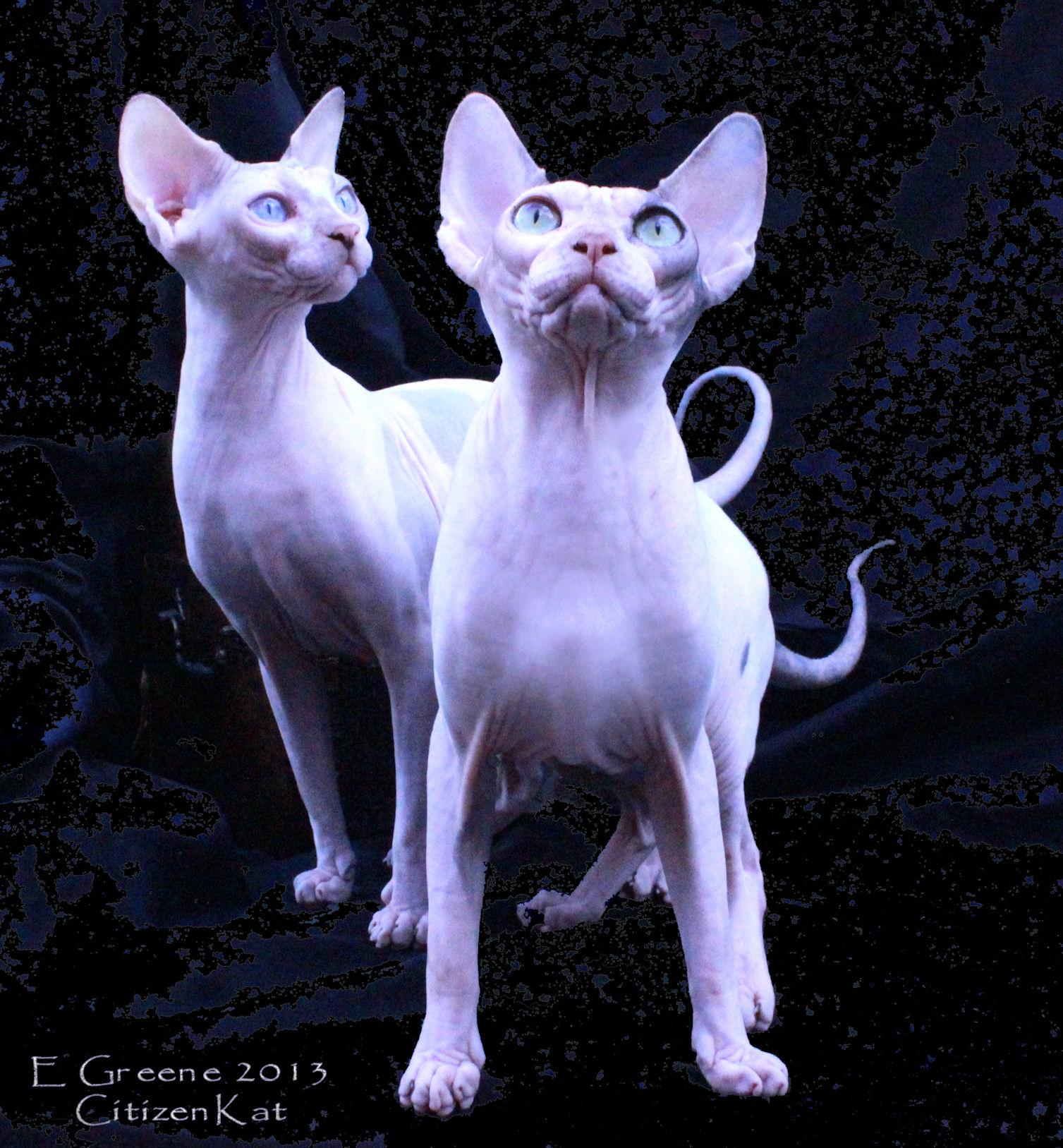 Sphynx Breeder Sphynx Kittens Sphynx Cats Hairless Cats